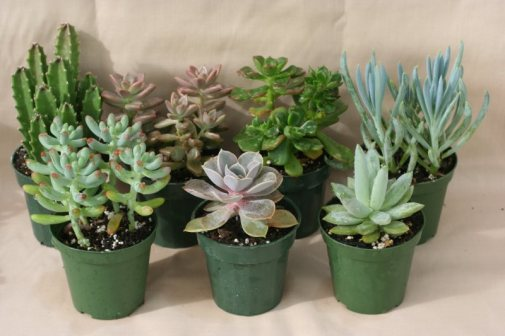 SUCCULENT Assorted 3 inch